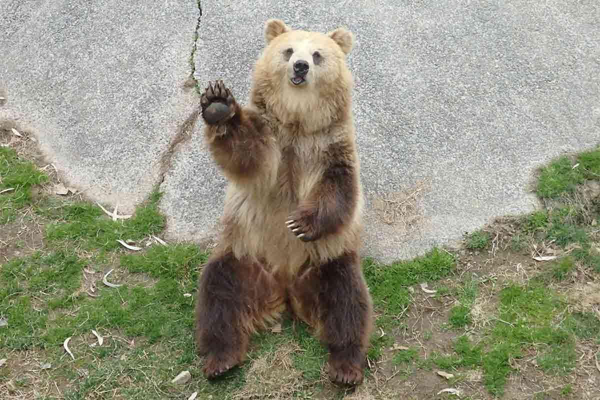 手を振るヒグマ