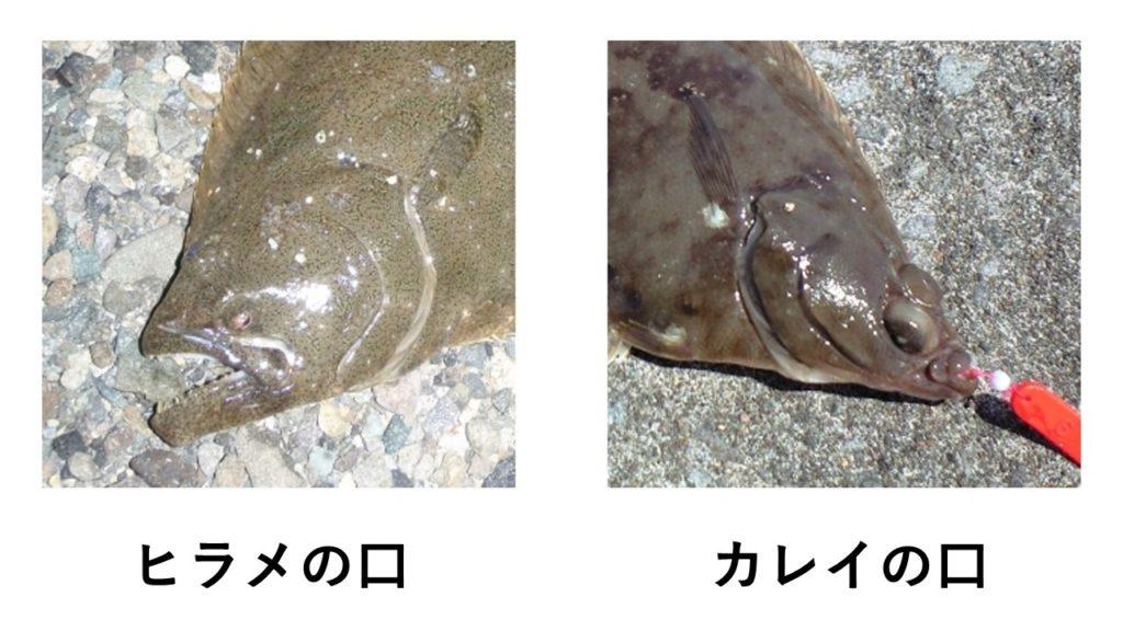 ヒラメとカレイの口を比較した画像