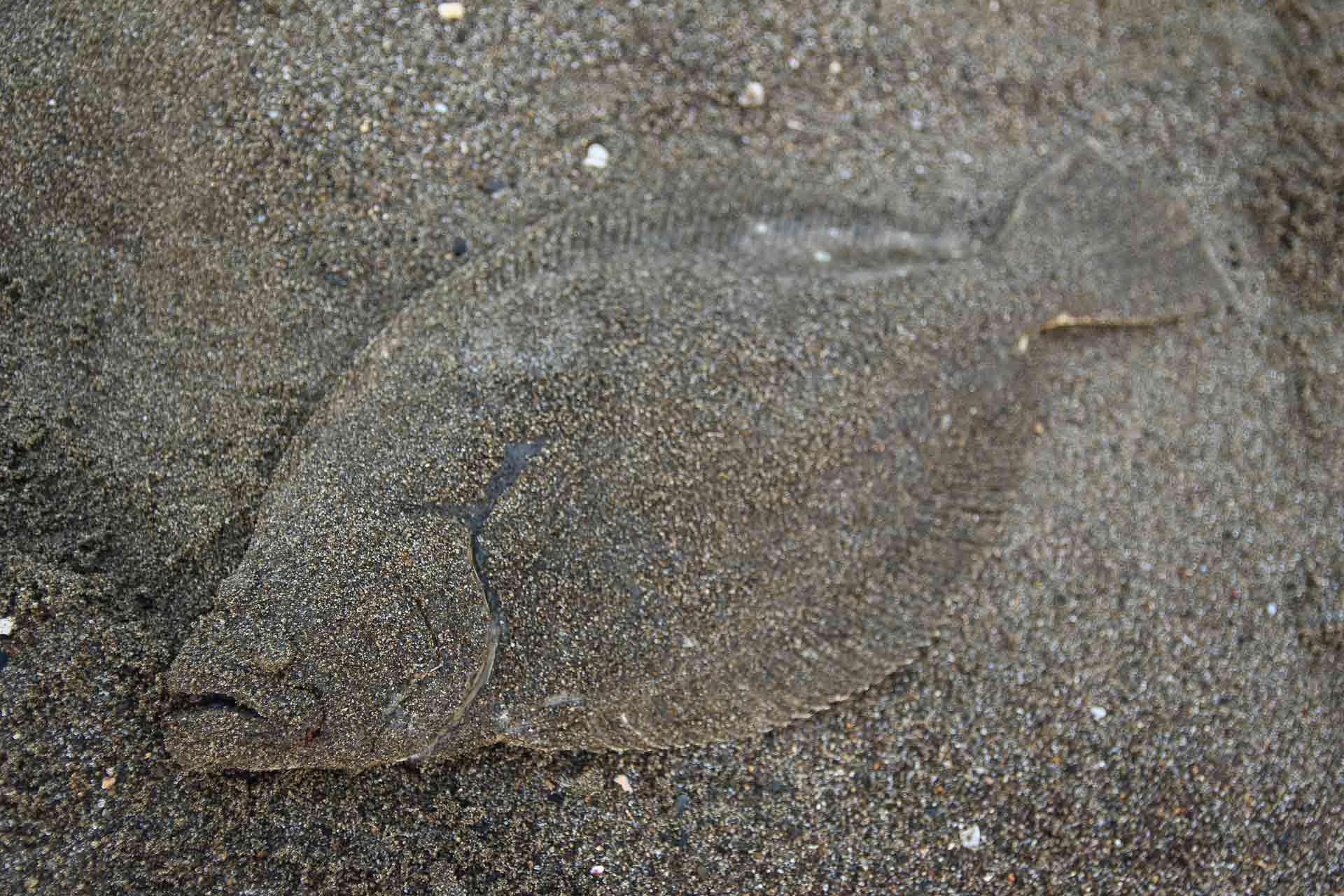 砂にまみれたヒラメ