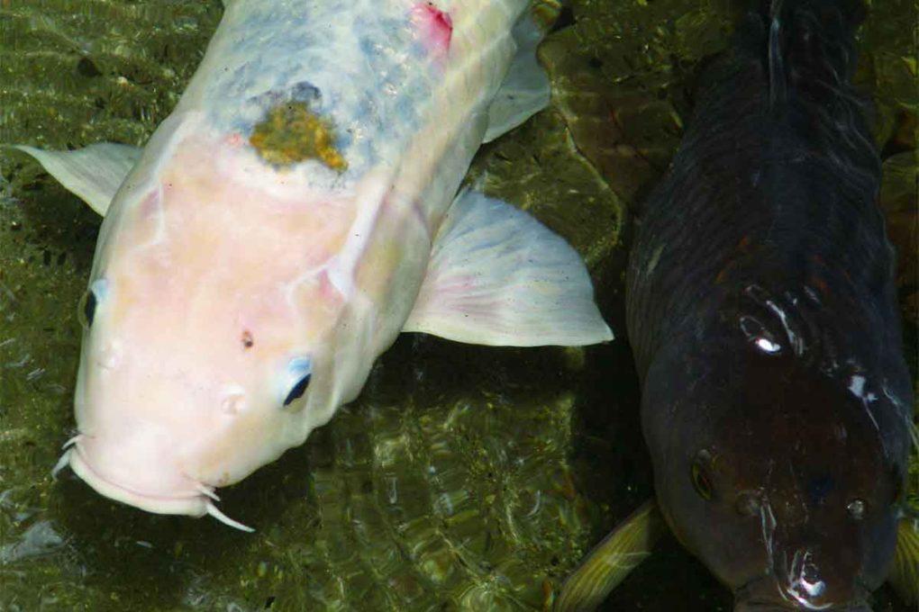 鯉の口ヒゲ