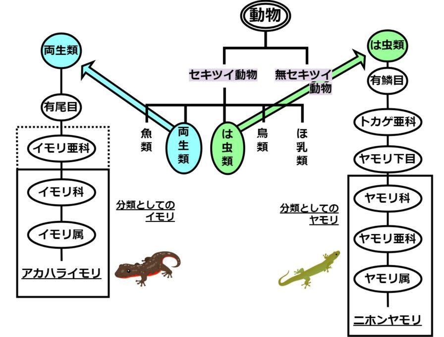 イモリとヤモリの分類図
