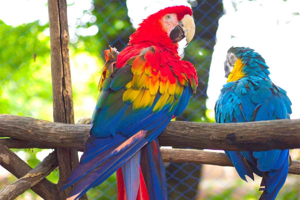 赤色と青色のコンゴウインコ