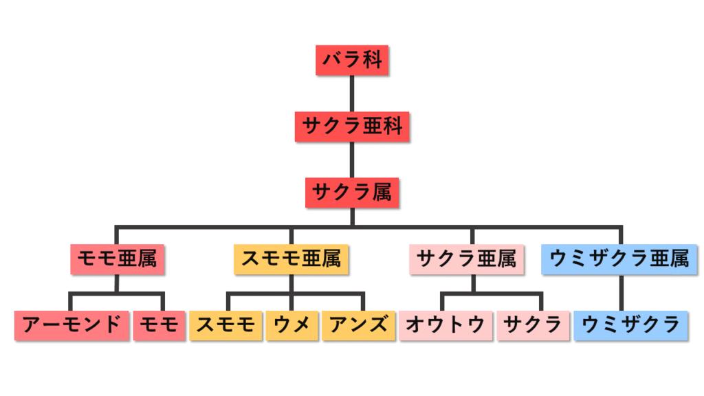 桜と梅の分類図