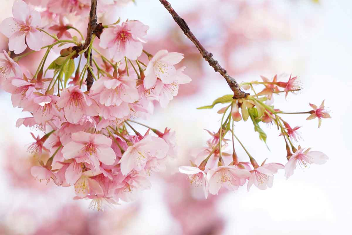 桜の花のつき方