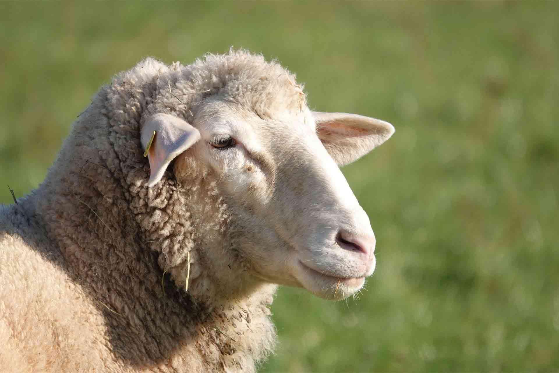 羊のあごひげ