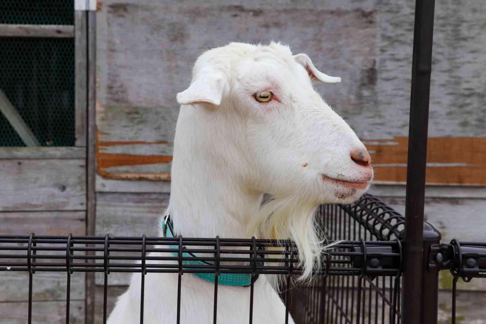 山羊のあごひげ