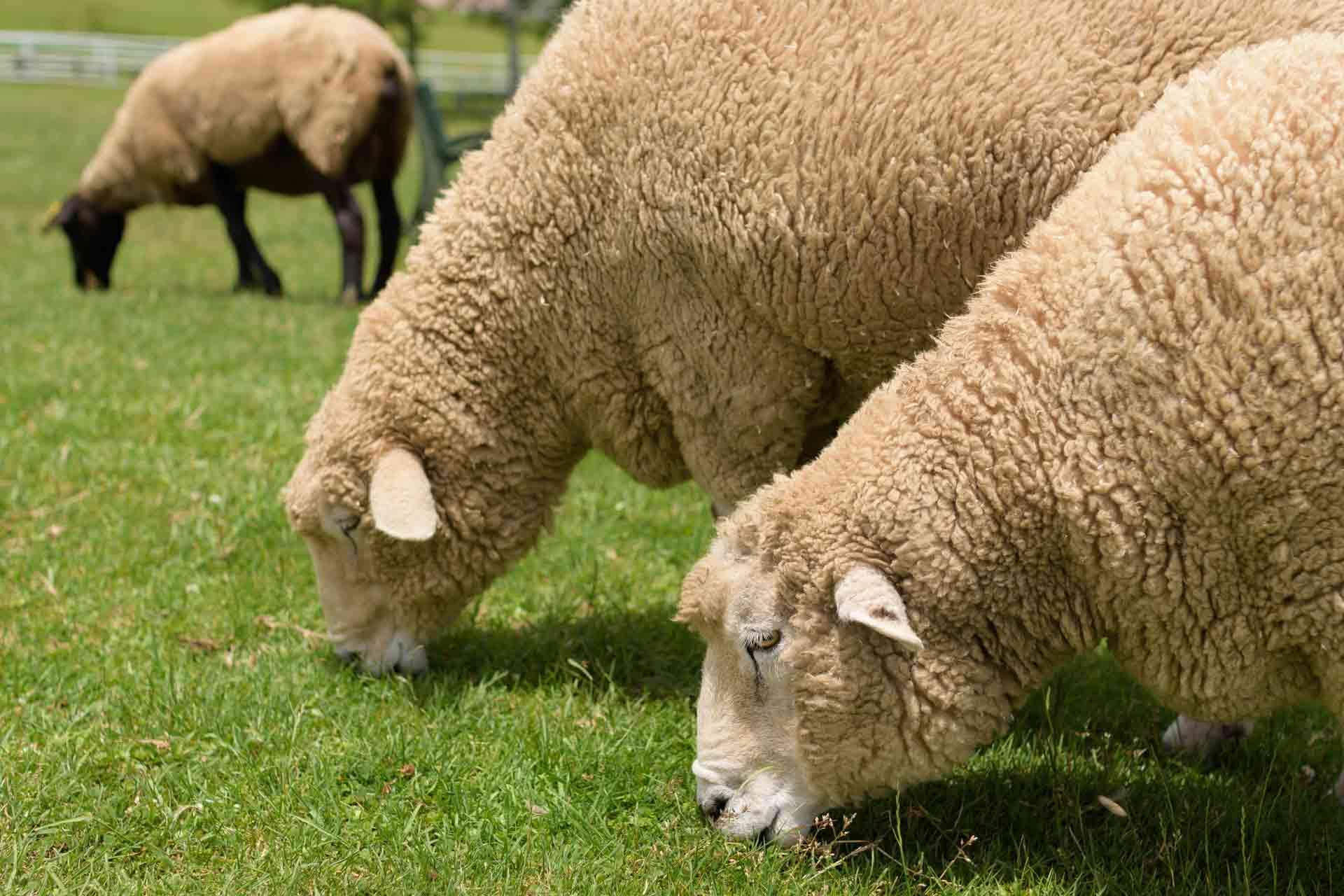 食事中の羊