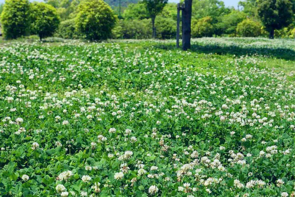 一面に咲くクローバー