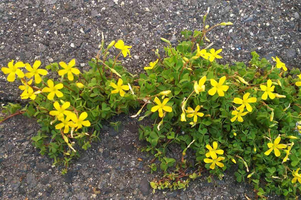 地面に咲くカタバミの花