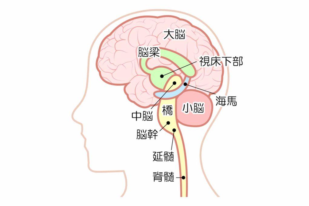 脳の各部位の名前