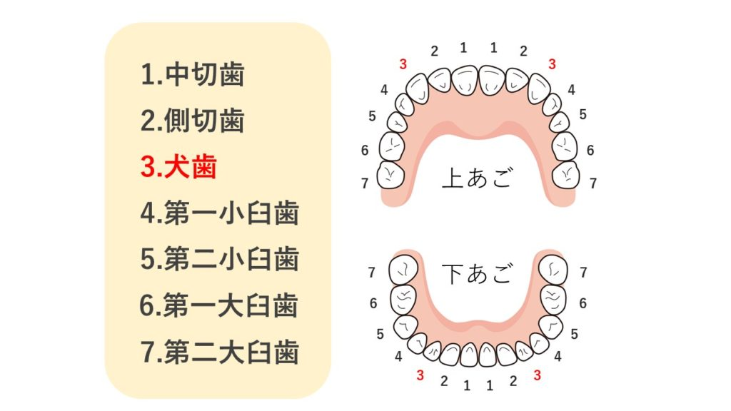 歯の名称の図