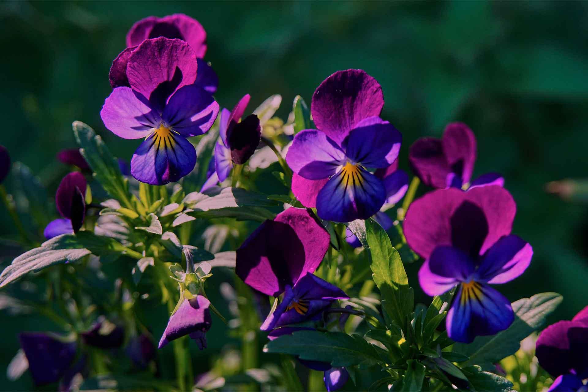 スミレの花