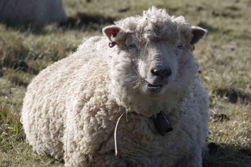 メリノ種の羊