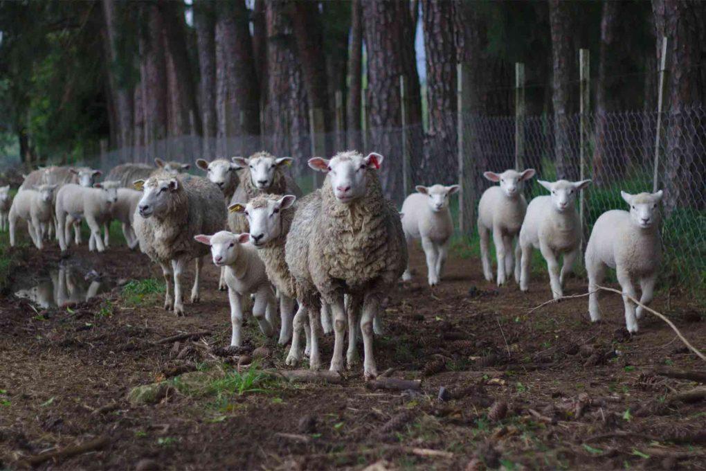 放牧された羊