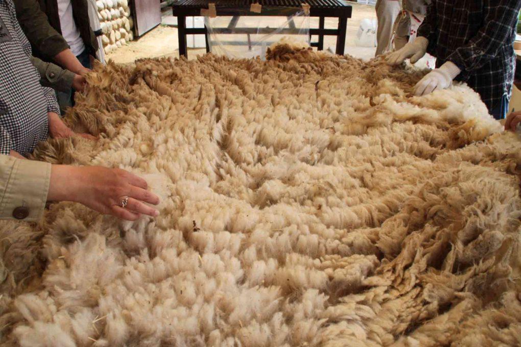 羊の毛を集めているところ