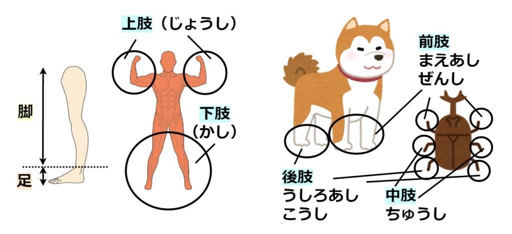 足と脚と肢の使用例のイラスト